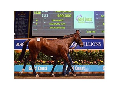 Lot 1529, a filly by Manduro, sold for the highest price at the Magic Millions National yearling sale on the Gold Coast in Queensland June 4.