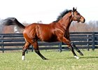 Leading First Crop Sire Posse shows off his speed in his paddock.