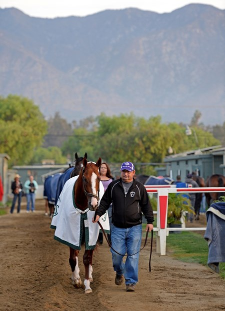 Caption:  California Chrome hotwalking with Alan Sherman