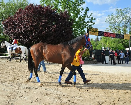 Social Inclusion starts his way to the paddock.