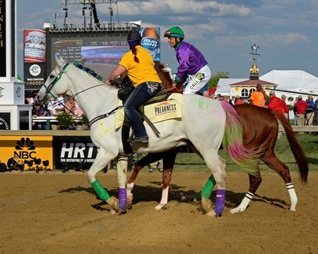 California Chrome and his decorated Pony horse head towards the starting gate.
