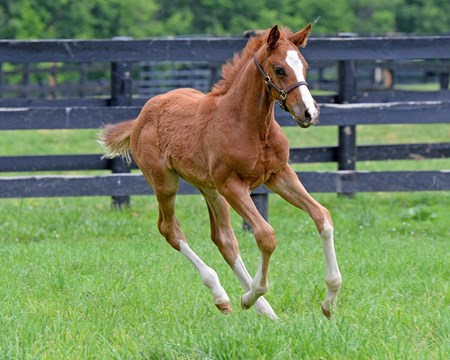 The colt enjoys running in his paddock.