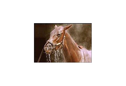 Funny Cide reacts to being washed after a morning workout at Belmont Park Wednesday.