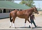 Peace Rules, walks in stable area at Churchill Downs.