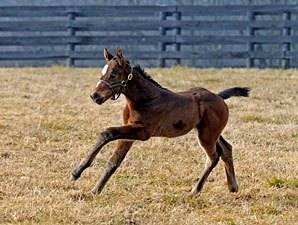 Champion Curlin Sires First Foal Bloodhorse