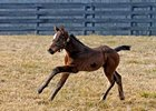 Two-time Horse of the Year Curlin was represented by his first foal when a filly was born Jan. 12 at Burleson Farms.
