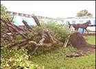 Trees at Calder toppled by Hurricane Katrina.