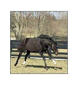 Overbrook Farm stallion Storm Cat.