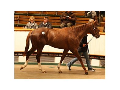 Lot 138; colt, Shamardal - Balloura, by Swain, brought 500,000 guineas to top the Tattersalls Craven breeze up sale.
