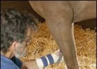 Dr. Ric Redden, looks over Cats Dont Dance, a saddlbred horse injured by injection of a caustic substance.