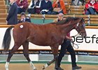 Montjeu Colt Top Lot at Tattersalls