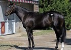 Storm Cat-Fleet Indian Colt Brings $2,050,000
