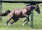 Kentucky Derby winner Barbaro races around the inside of his excercise pen outside his barn in Fair Hill, Md.