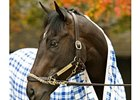 "Undefeated War Pass, winner of the Eclipse Award for top 2-year-old colt in 2007.<br><a target=""blank"" href=""http://www.bloodhorse.com/horse-racing/photo-store?ref=http%3A%2F%2Fpictopia.com%2Fperl%2Fgal%3Fprovider_id%3D368%26ptp_photo_id%3D2632609%26ref%3Dstory"">Order This Photo</a>"