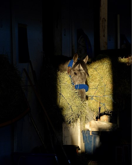 Caption: El Kabeir in his stall eating hay as the morning light comes down the shedrow of barn 33.