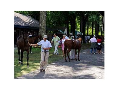 Yearling are inspected by potential buyers at Saratoga.