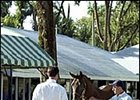 Prospective buyers inspect Keeneland sale yearlings.