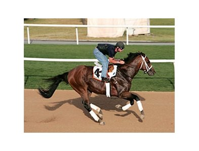 Albertus Maximus gallops in preparation for the Dubai World Cup.
