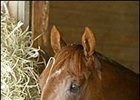 Smarty Jones, in his stall at Philadelphia Park one day after his record romp in the Preakness Stakes.