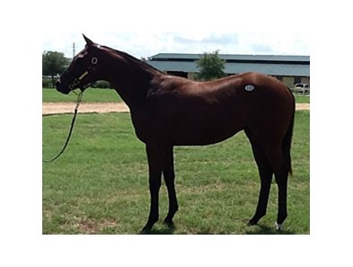 The sale topper, hip #133, colt, Successful Review (Successful Appeal - Excellent Review, by Mr. Greeley).