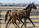 The first North American foal by Storm Surge with his dam, Evening Bell.