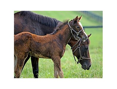 Liable, dam of Blame, with foal.