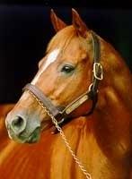 Triple Crown Winner Affirmed Euthanized Bloodhorse