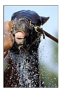 Hot bet Smarty Jones cools off on Preakness morning.