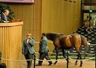 The final hip at the Keeneland Nov. sale is led out of the auction ring.