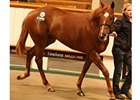 Redback Filly Stands Out at Tattersalls