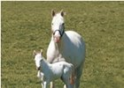 Patchen Beauty, and her white colt foaled April 5.