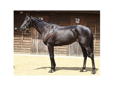 Lot 210; Top Spin, colt; Cape Cross - Beguine by Green Dancer, brought 175,000 guineas to top the opening day of the Tattersalls July sale,