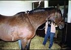Fluid is drained from the pericardial membrane surrounding the heart of a horse with Pericarditis.
