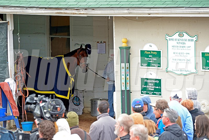 Caption: American Pharoah looks out for at a huge crowd as he is walked in the shedrow.