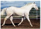 White Thoroughbred Sire Moved to Lexington
