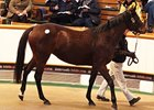 Quelle Amore, one of 2 mares to bring 300,000 guineas to top the Dec. 1 session of the Tattersalls December Mare Sale.