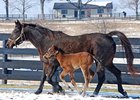 Antique Auction and her 2010 filly, one of the last foals sired by pensioned stallion Theatrical.