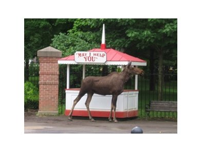 A cow moose was found wandering on the sidewalk outside Saratoga Race Course earlier today.