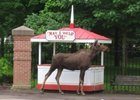 Moose on the Loose at Saratoga Race Course