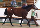 Filly, Azamour - Flashing Green by Green Desert, was the most expensive horse sold on the day, bringing 240,000 guineas.
