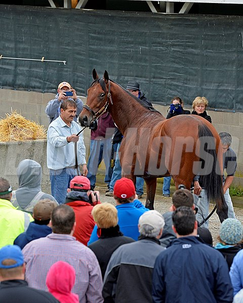 Caption: American Pharoah looks out for at a huge crowd as he is bathed outside Bob Baffert's Barn.