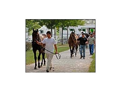 Yearlings arriving at the Keeneland September sale.