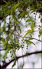Facts About Black Cherry Trees and Tent Caterpillars