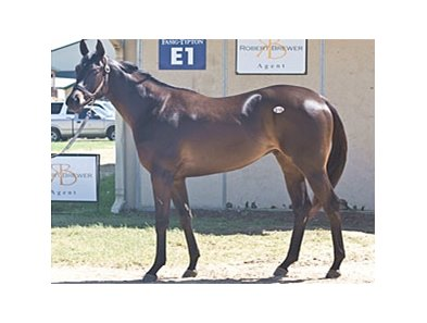 Hip #16, a Salute the Sarge colt, was one of 2 to bring $105,000 at the Fasig-Tipton Texas 2-Year-Olds in Training Sale.