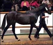 Desert Prince Colt Brings $3.5 Million at Tattersalls