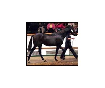Desert Prince colt, sold for $3.5 million at Tattersalls' Houghton sale Wednesday.
