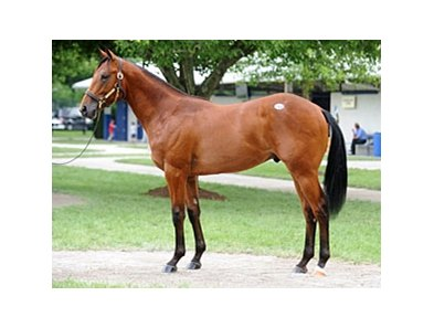 Hip #168, colt, Harlan's Holiday - Acrosstheborder by Include brought $310,000 at the July 12 Fasig-Tipton Kentucky July yearling sale.