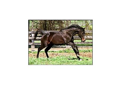 Champion sprinter Housebuster, romping in a paddock in 2004.