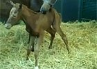 WinStar Releases Video of Filly's First Step