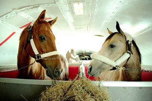 Funny Cide (left) winner of the 2003 Kentucky Derby and Preakness, gets settled in on the plane, and meets his traveling partner, Smokey, the stable pony for Bob Baffert on their way to Saratoga. Triple Crown winner American Pharoah is directly behind them.